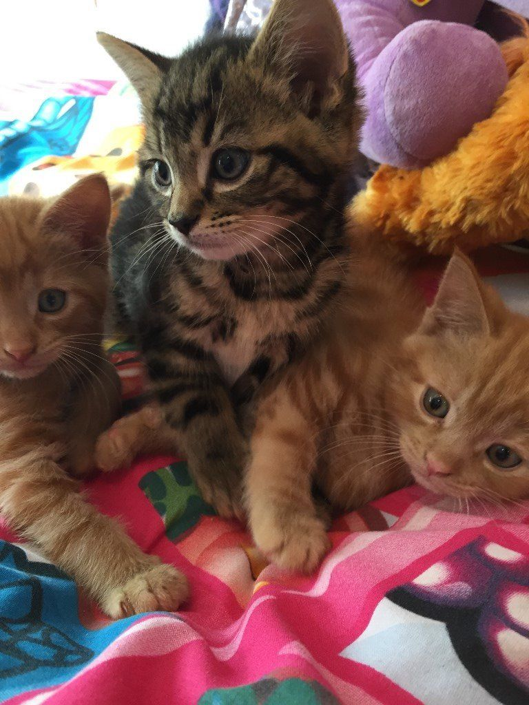 ****Very Cute Female and Male Ginger and Tabby 8 Weeks Old Kittens Ready For There Forever Home***
