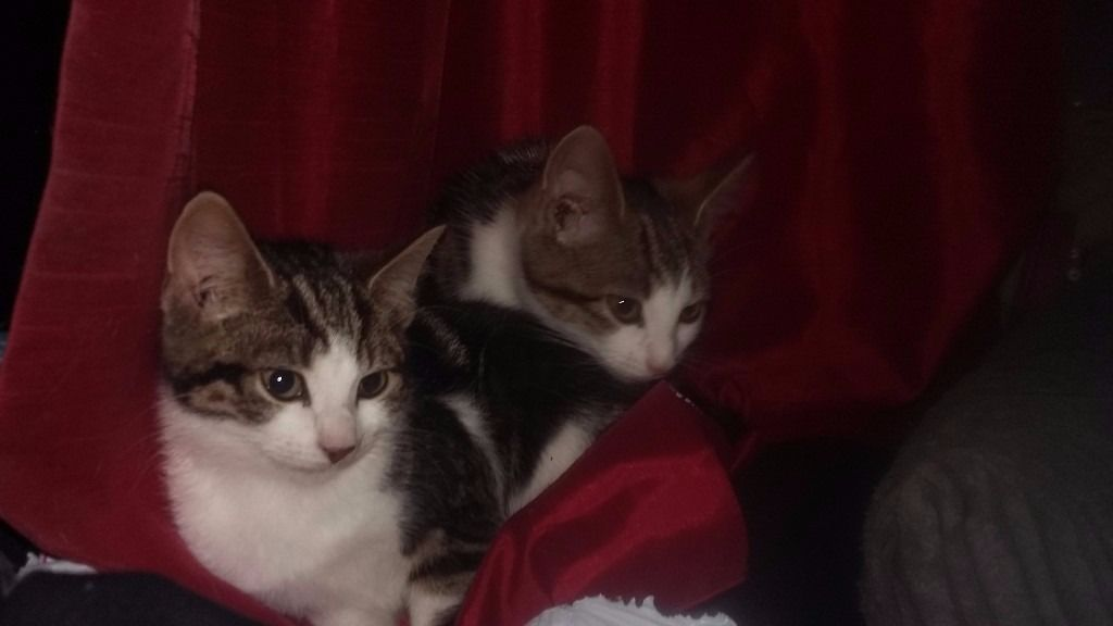 Two gorgeous tabbys and white female kittens for sale