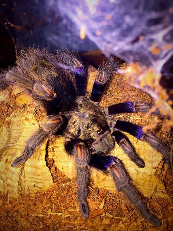 Various Tarantulas for sale