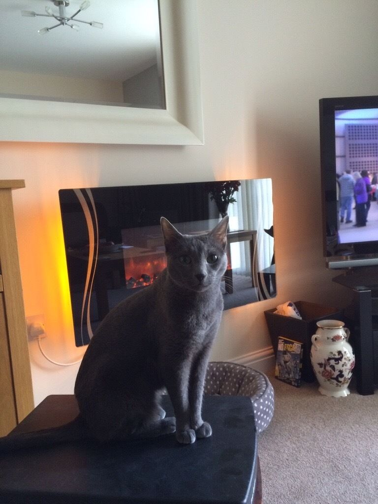 Russian Blue cat free to good home