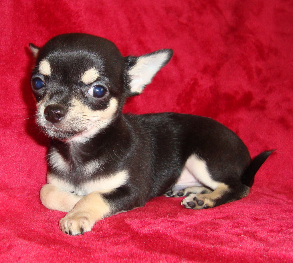 Chihuahua puppies for sale.