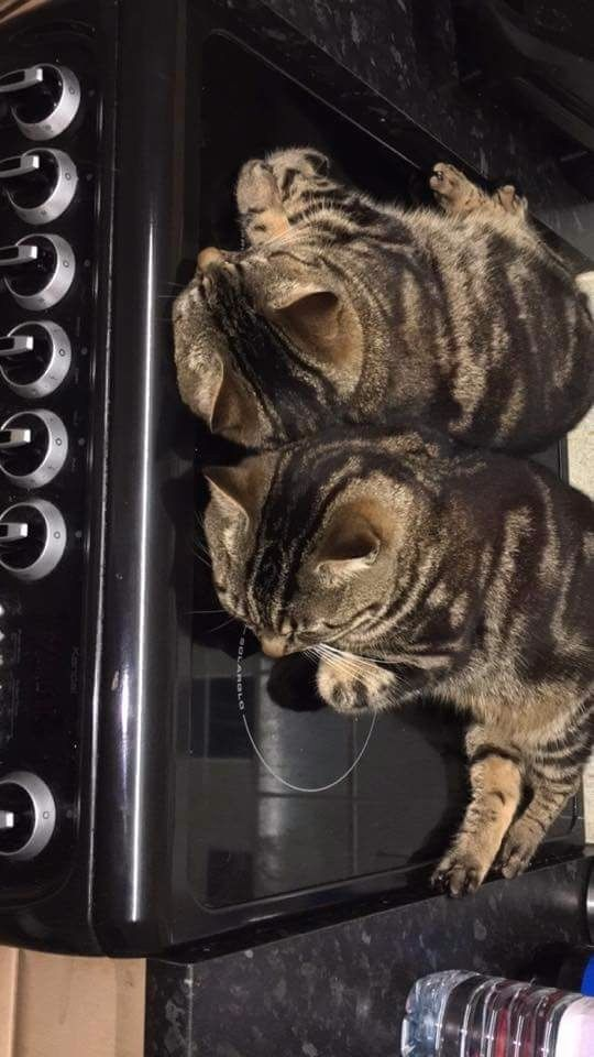 2year old cats for sale. Brother and sister