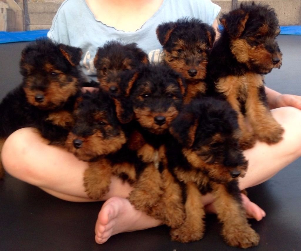 Welsh Terrier Puppies