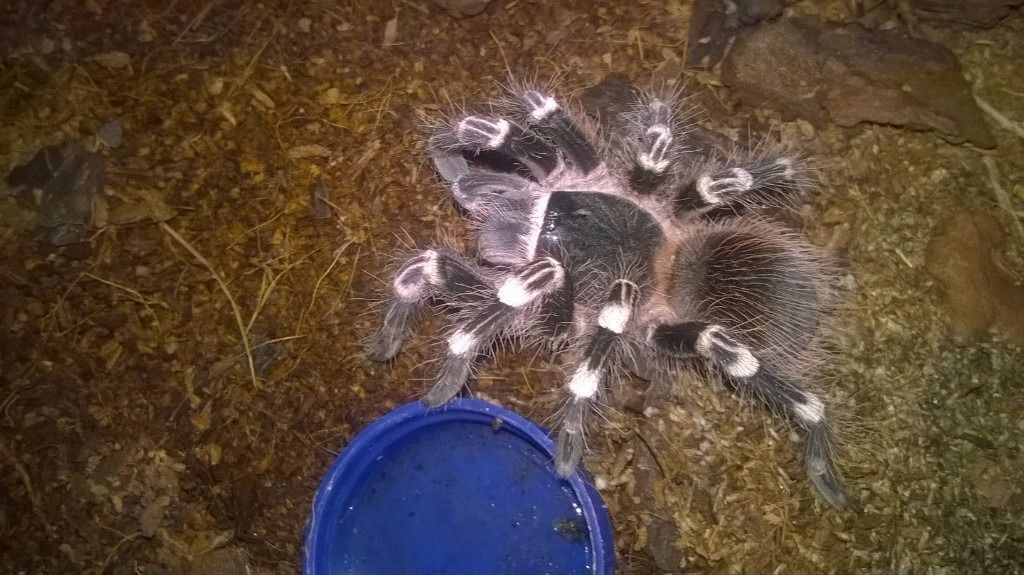 Brazilian white knee Tarantula plus terrarium