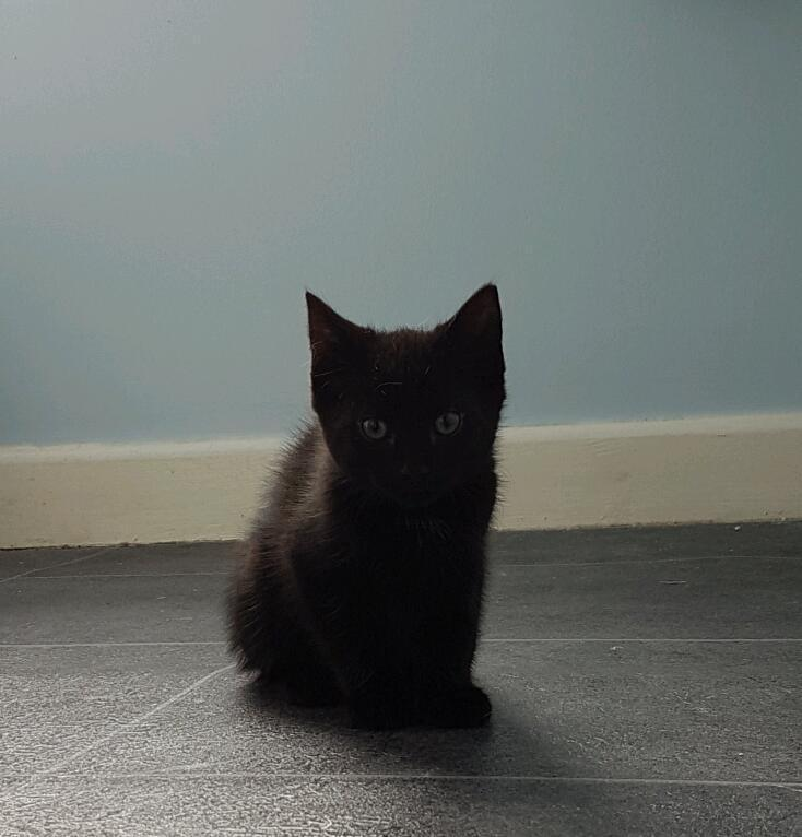 Black male kitten
