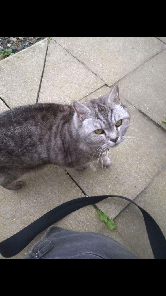 Missing Dark Grey and Grey Cat