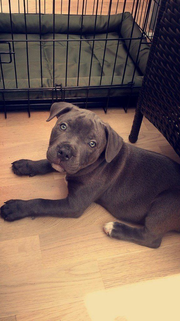 blue staffy pup,great little boy dog, all blue except a white chest