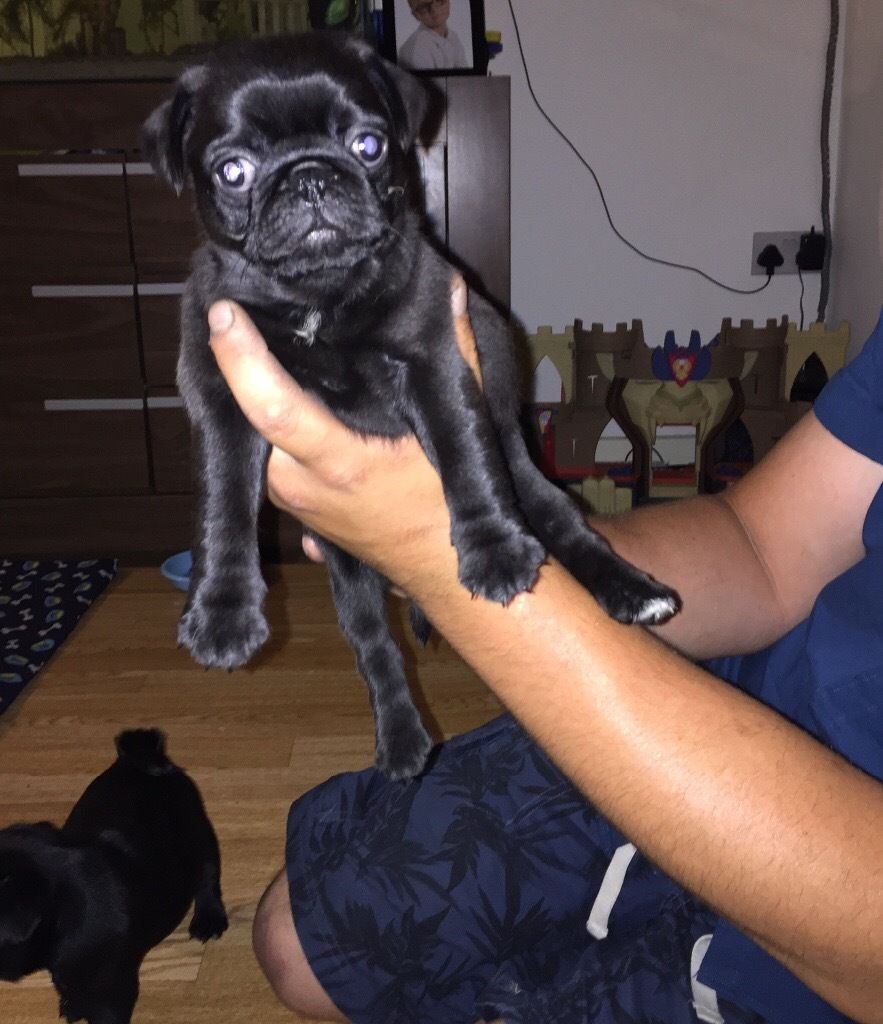 Pug puppies,ready to leave today!!