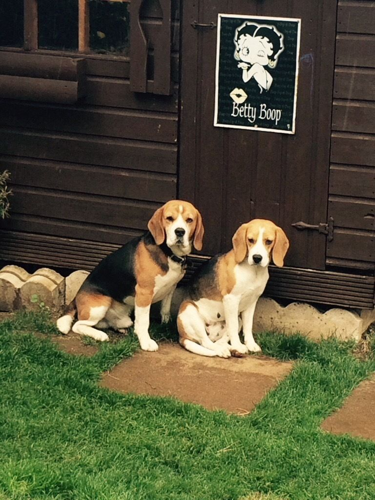 KC BEAGLE TRY COLOURED PUPPYS