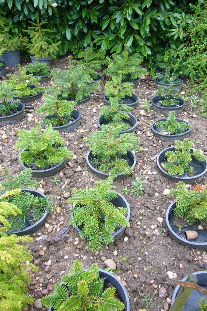 CHRISTMAS TREES - NORDAMAN FIR - HEIGHT 30-45cm - IN 15L POTS