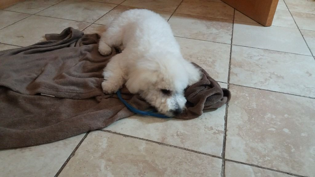 bichon frise 6 month old pup male