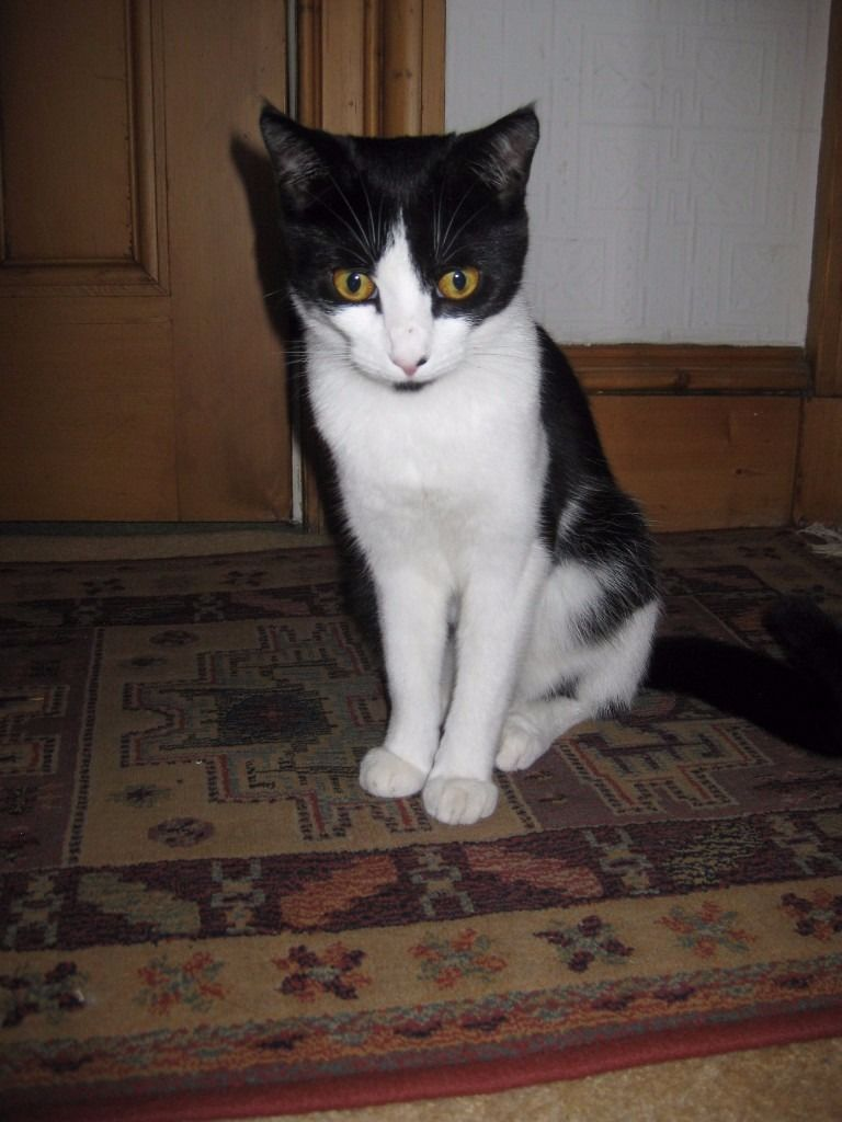 YOUNG BLACK & WHITE CAT FOUND IN HYNDLAND / DOWANHILL IN LATE JUNE