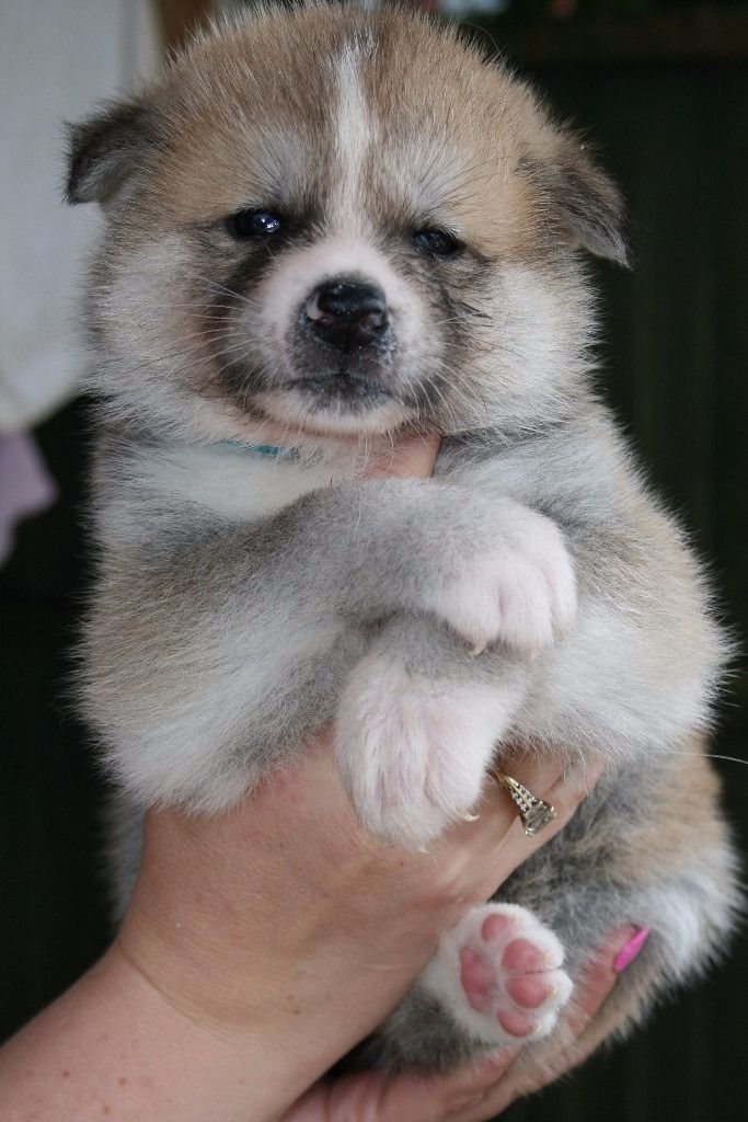 KC Japanese Akita Inu puppies for sale