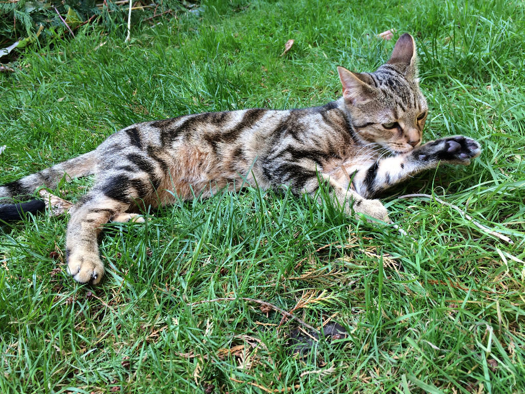 TABBY Short Hair, 15 months old, right ear has a vertical scar -Date 7 July 2016-Ely - MISSING,