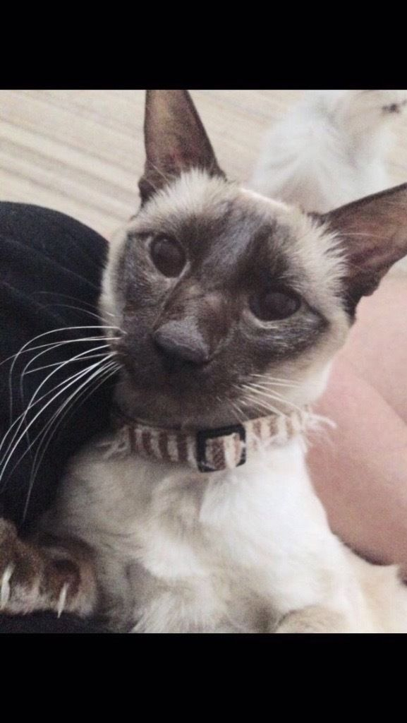 MISSING SIAMESE CAT, HORWICH, BOLTON