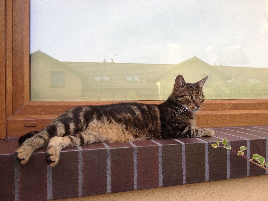 Missing Cat -Tiger Tabby disappeared 1july