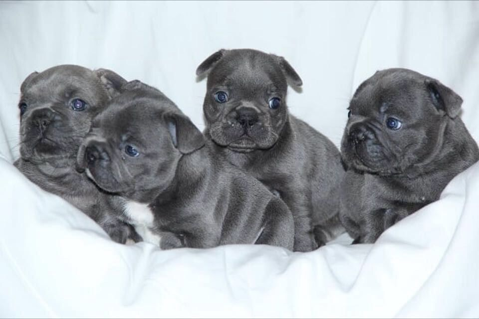 French bulldog puppy JHC clear ready now