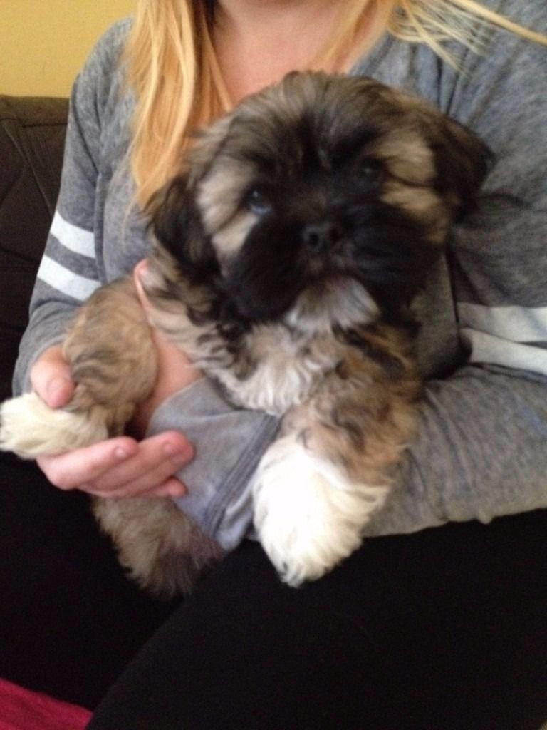 Male Lhasa Apso Pup