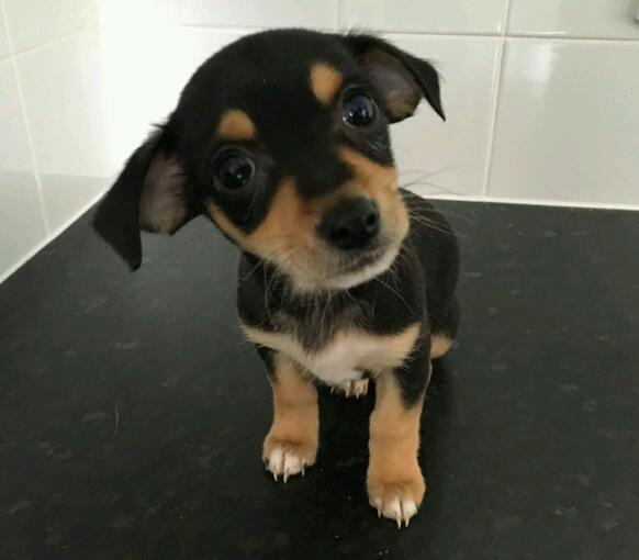 Jack Russell cross chihuahua puppy