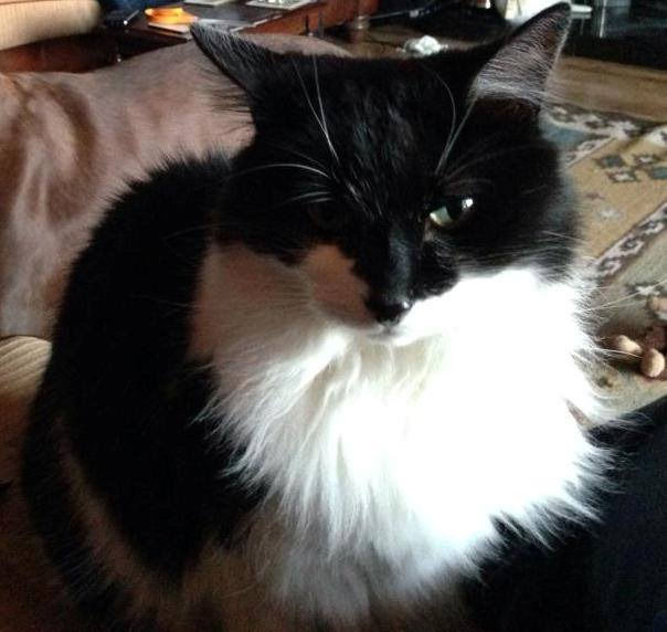 Missing Black And White Cat In Mid Ulster Area