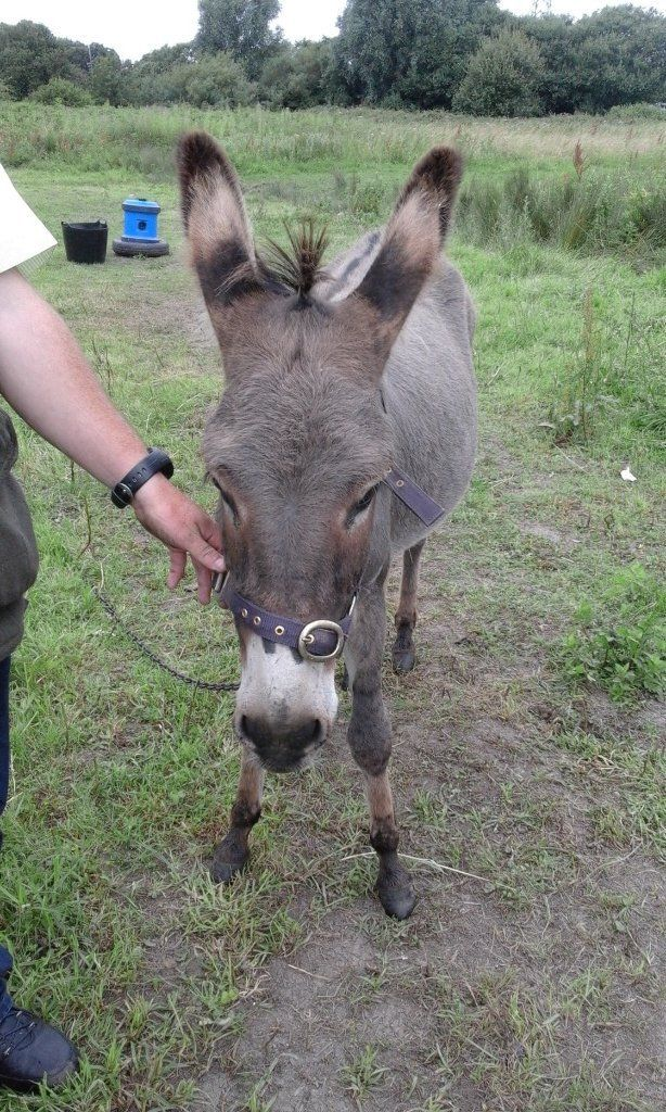 3 year old jenny donkey for sale