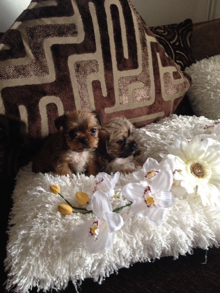 Chiwawa cross yorkie puppies