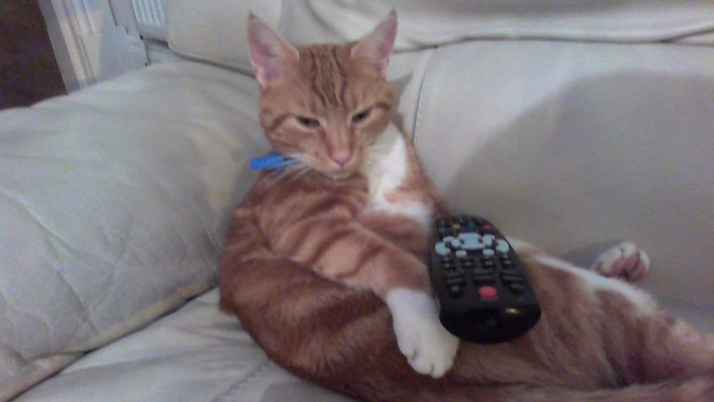 Lost male cat 4 years old microchipped, ginger stripes with white chest and paws in Kilmacolm area.