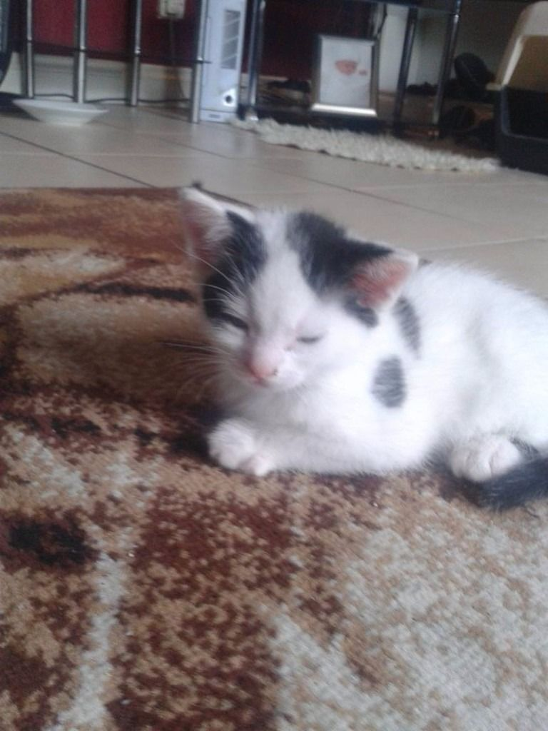 1 black and white and 1 tiger kitten only tiger kitten left