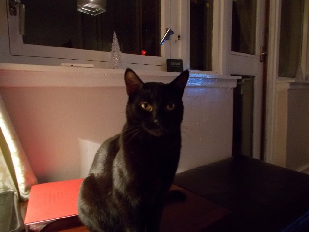 4 year old black cat looking for new home as owner has developed alergic reaction