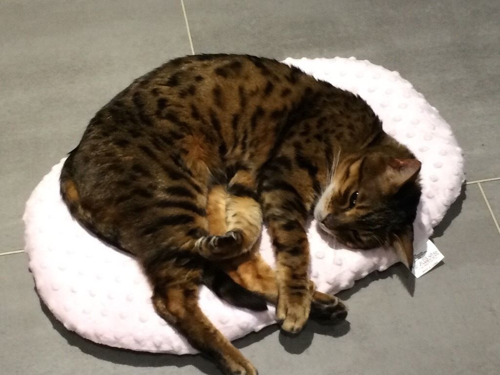 Missing brown spotted Bengal cat