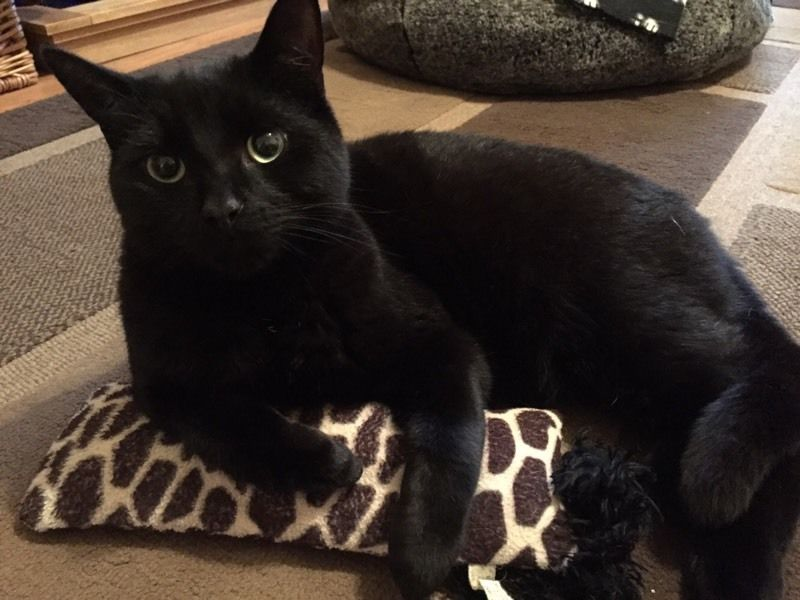 Missing black male cat -Southwater