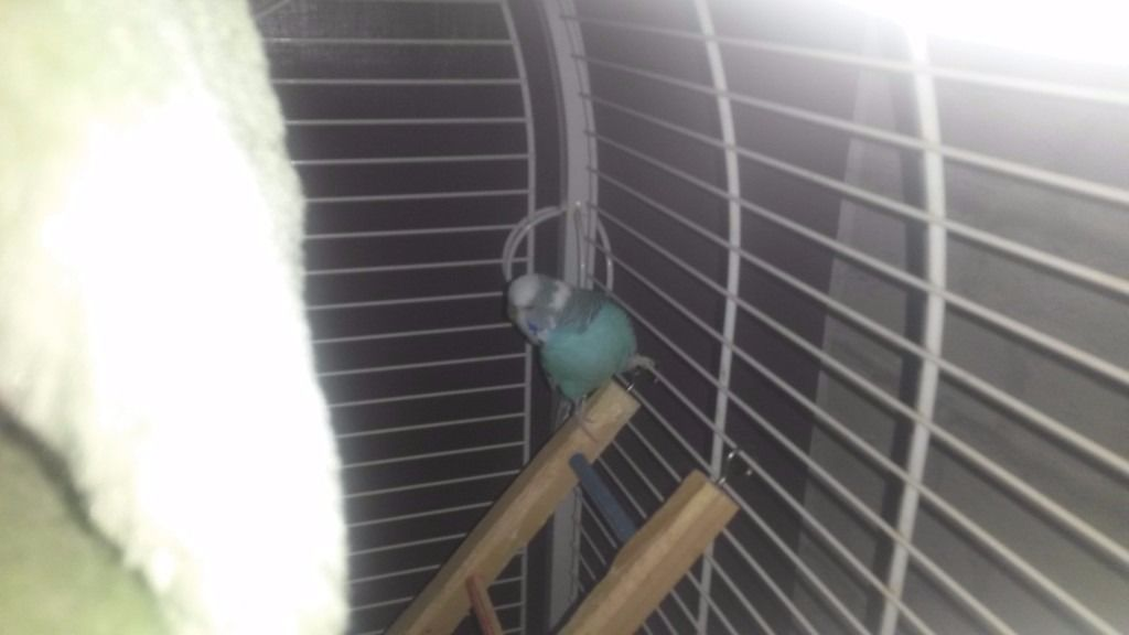 Budgies and very large cage