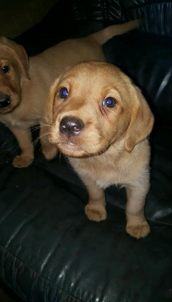 **last Beautiful boy remaining**Fabulous fox red Labrador Puppies