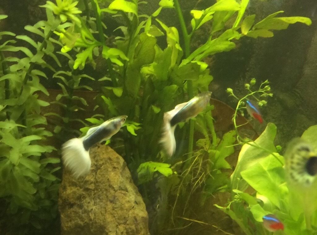 Breeding group of stunning guppies