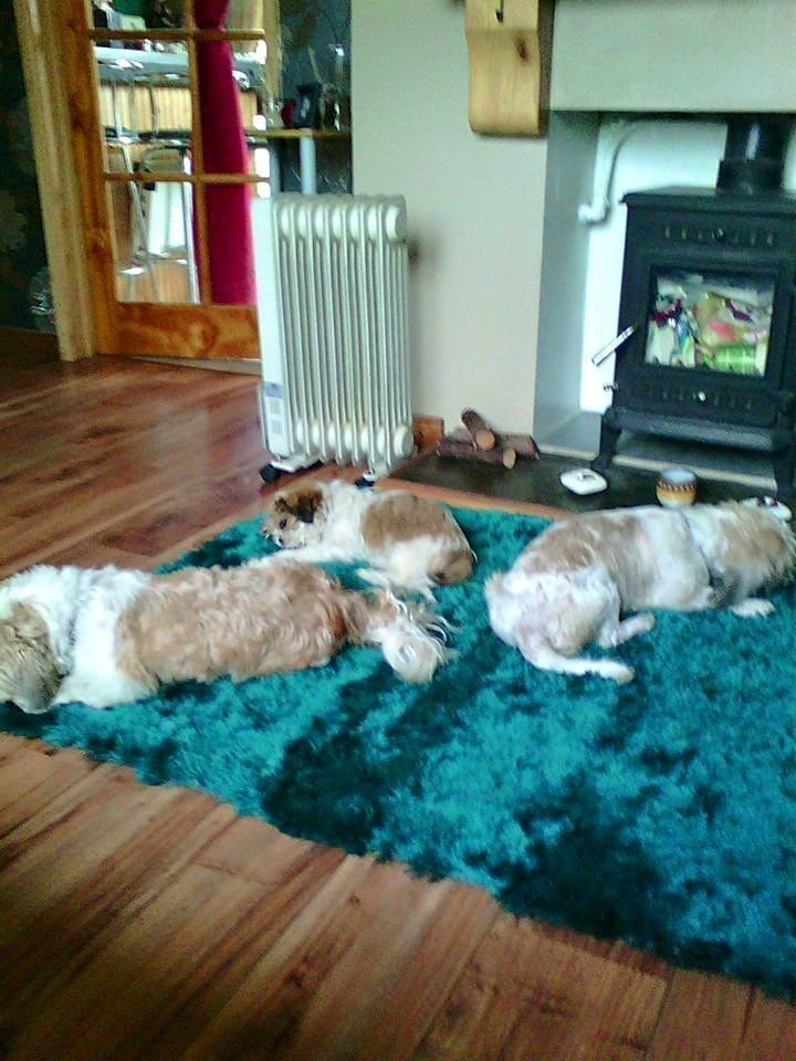 full breed shih tzu pups 4 girls 2 boys .mum and dad can be seen all pups well marked