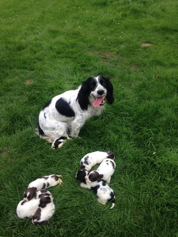 Springer spaniel pups for sale