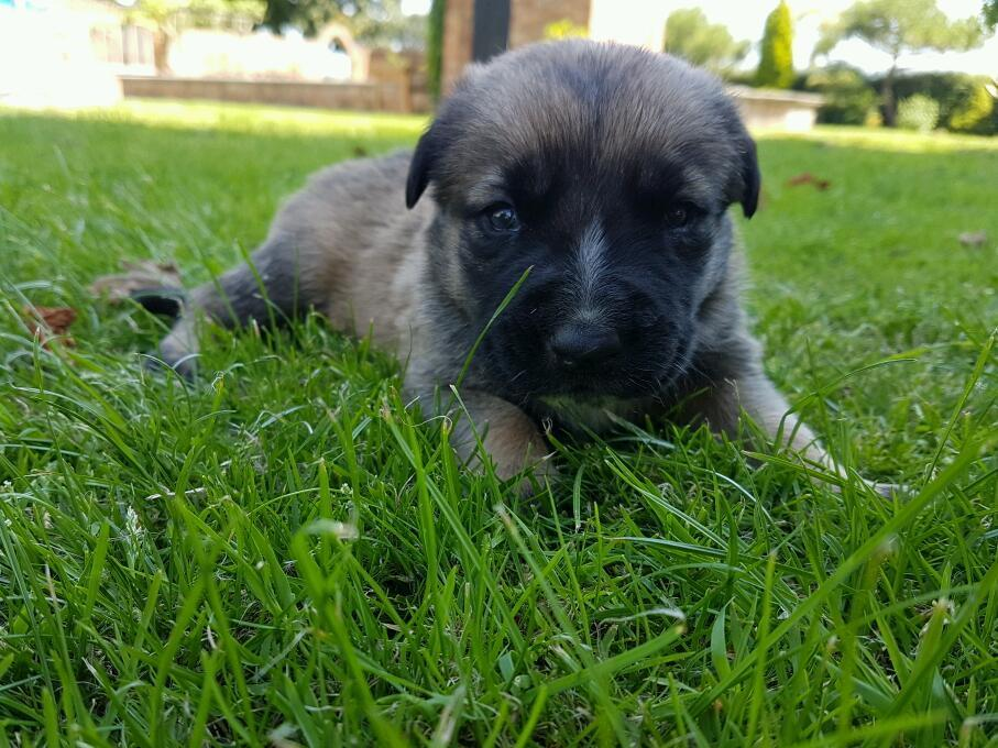 Ridgeback cross puppies stunning must look