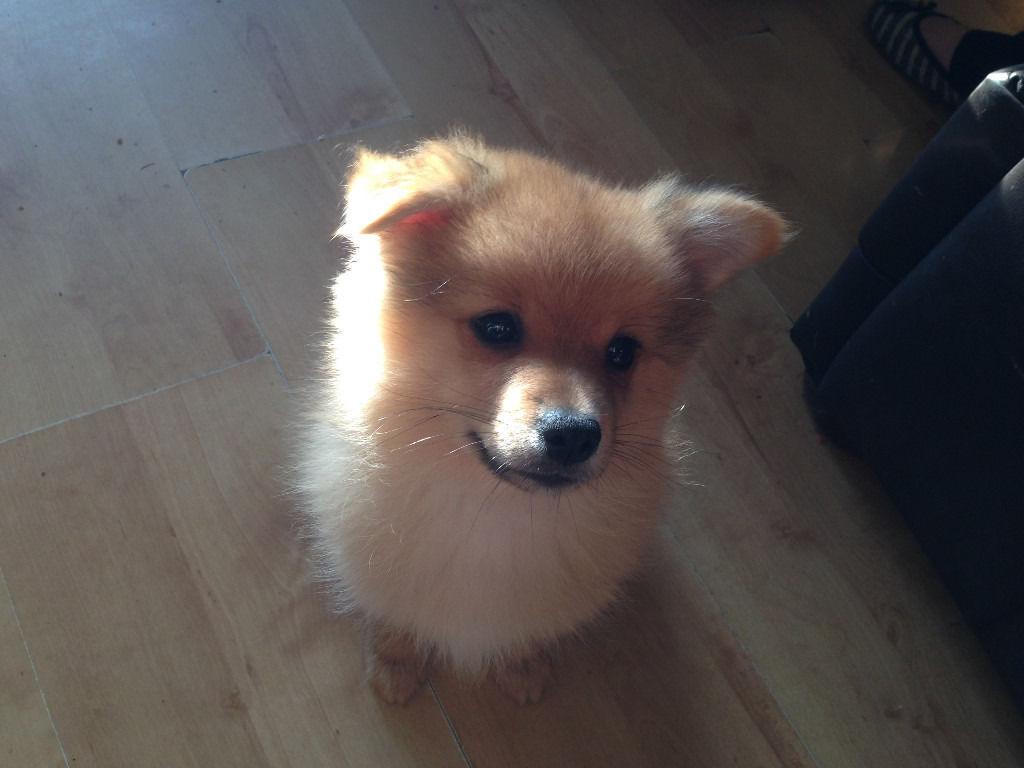 2 Pomeranian Puppies for sale 595 ovno