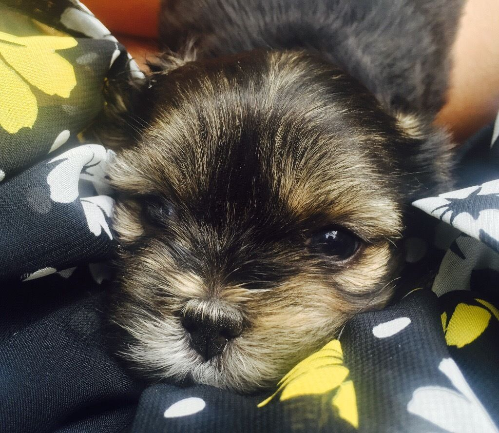 Beautiful Fluffy Lhasa Apso Puppies Looking for a Forever Home