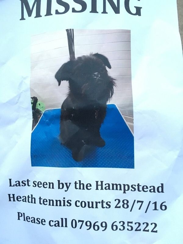 "Lost black Brussels griffon ""Pirate"" Hampstead Heath"