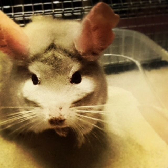 Male chinchilla looking for a new home