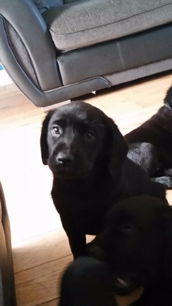 Black labrador puppies 3 girls 1 boy left