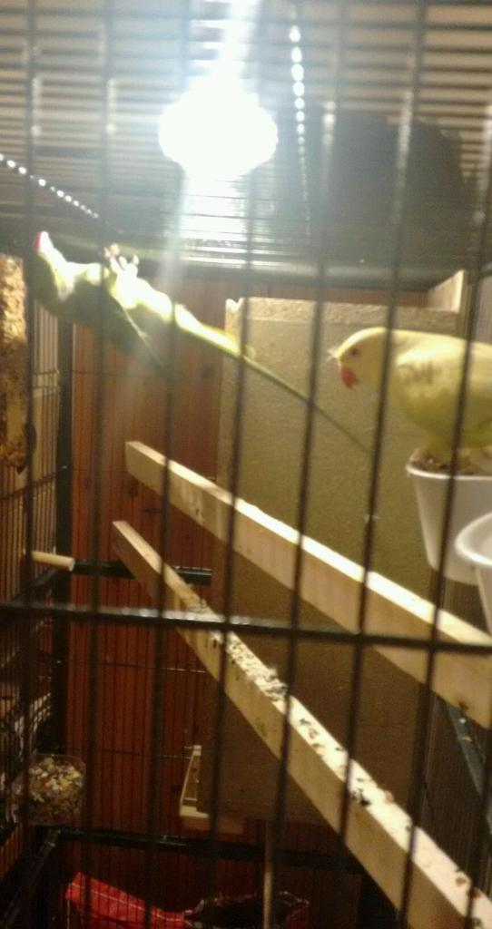 Lost male green ringneck parrot