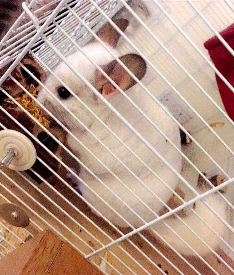 Lovely young rare white Chinchilla & full set up including toys