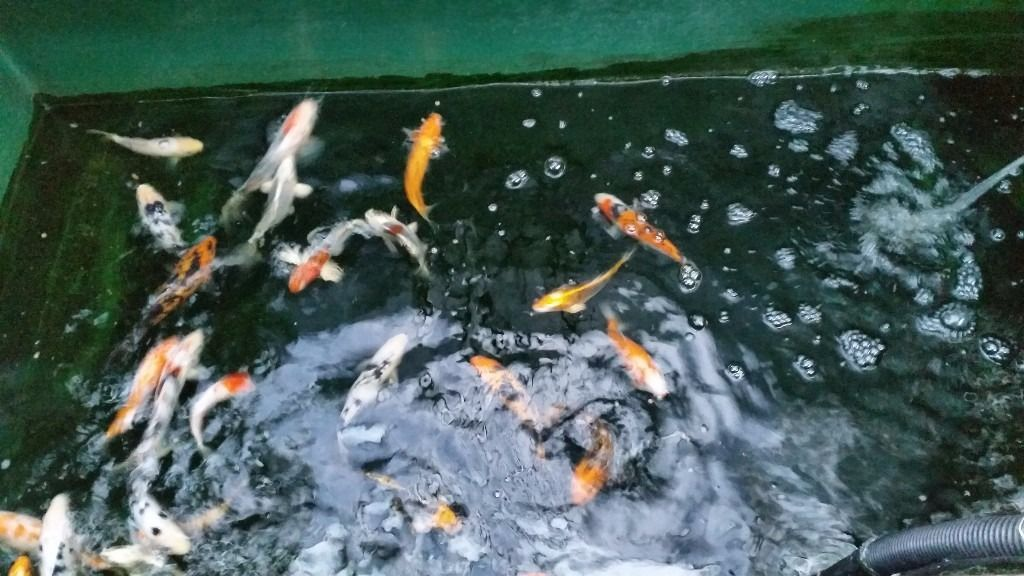 Koi for sale