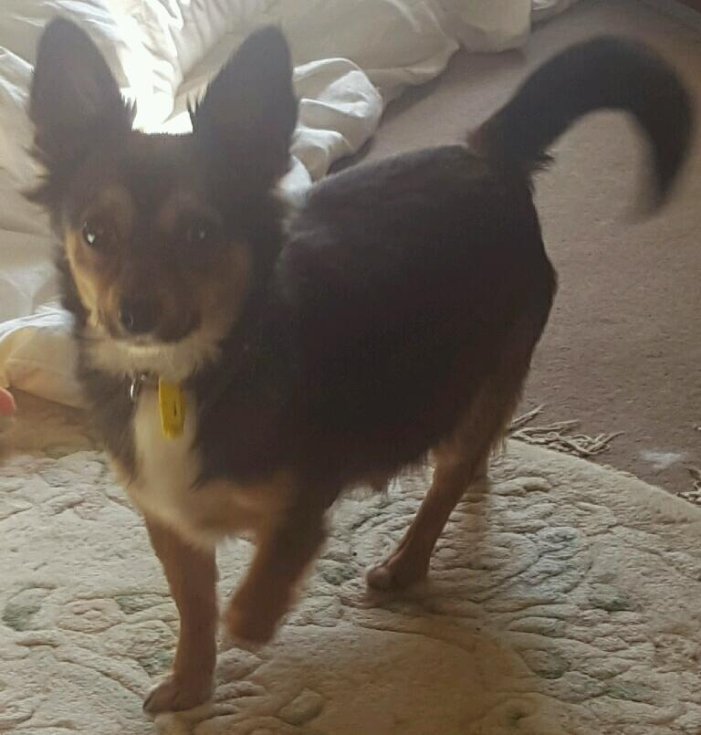 Chihuahua girl 18 mths old