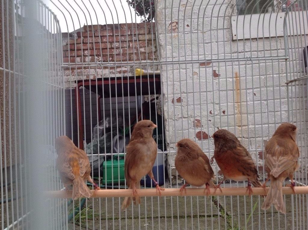 Canaries and finches for sale