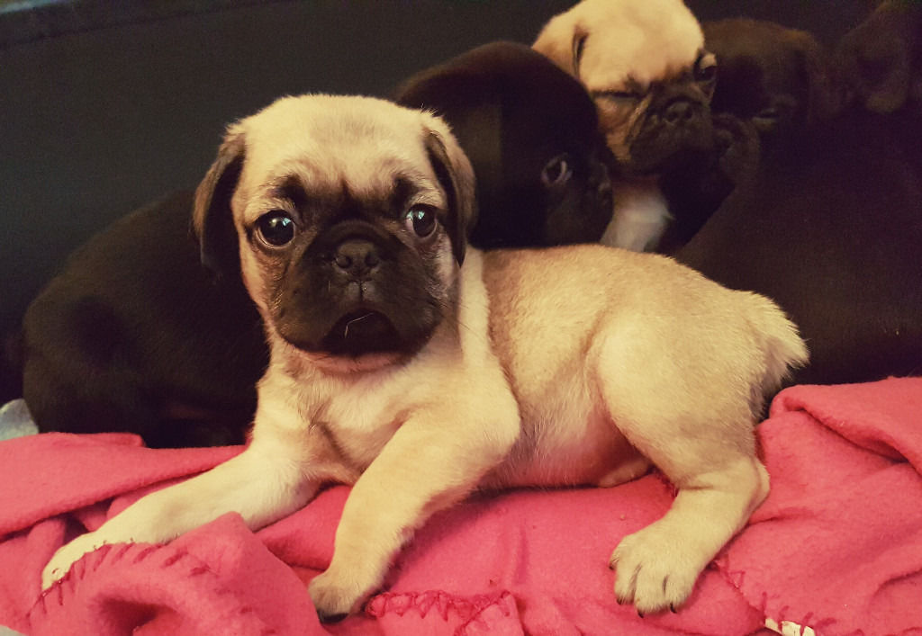 Cutest Puppies EVER! 3/4 Pugs