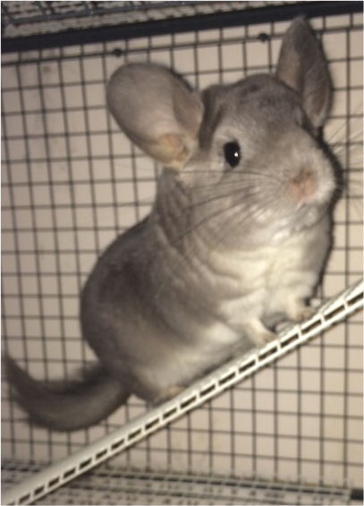 Tame female chinchilla with large cage