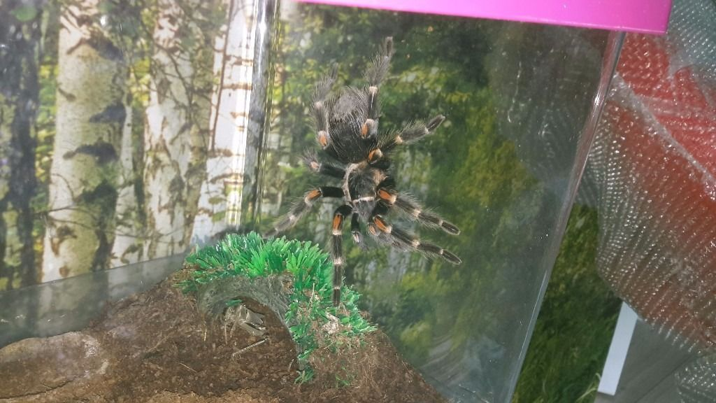 Brachypelma auratum and plastic box